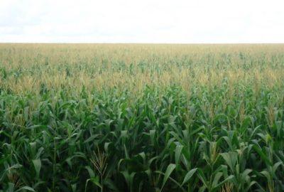 O milho segunda safra teve aumento de 31,1% na produção (Foto: Clenio Araujo/Embrapa)